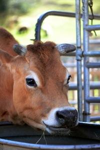 Luna Cow