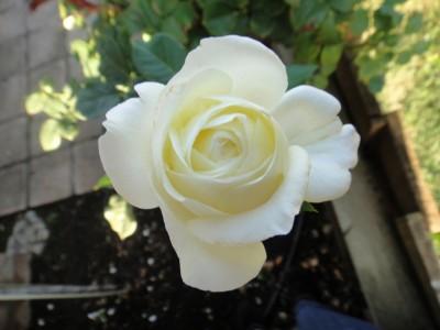 fall-rose-400x300.jpg