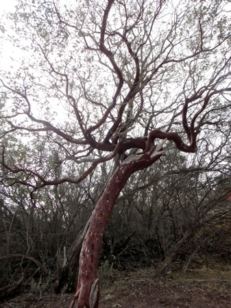 manzanita tree.jpg